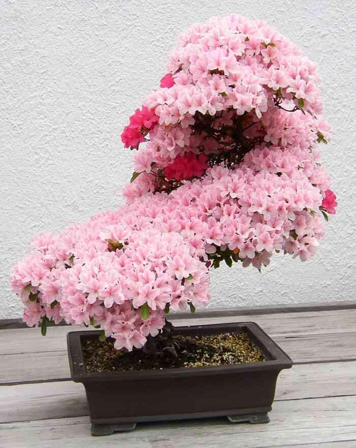 Bonsai rosa símbolo do tempo de cultivo e preparo