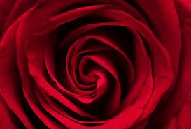 Rosa vermelha da cigana em zoom vista de cima