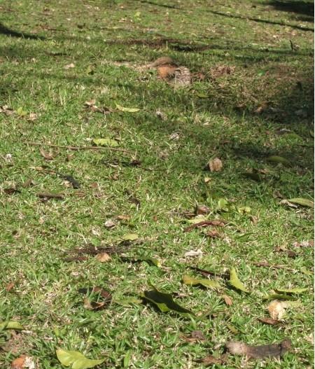A coruja no gramado do Parque São Lourenço em Curitiba